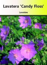 Lavatera \' Candy Floss \'