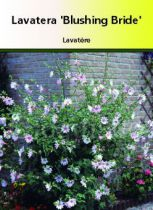 Lavatera \'Blushing Bride\'