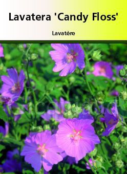 Lavatera \'Candy Floss\'