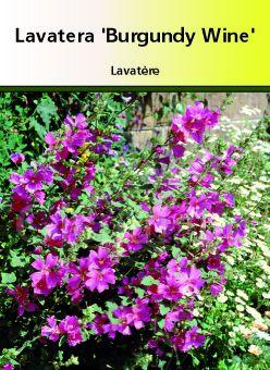 Lavatera thuringiaca \' Burgundy Wine \'