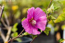 Lavatera thuringiaca \'Bredon Spring\'