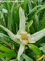 Leontopodium alpinum \'Edelweiss\'