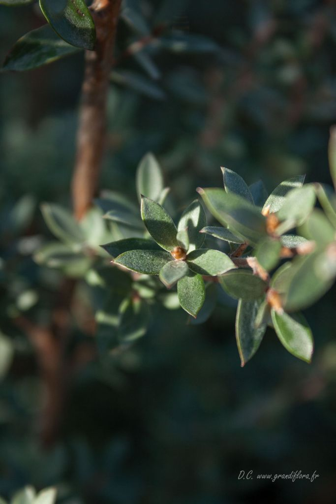 Leptospermum lanigerum \'Silver Sheen\'