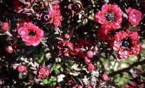 Leptospermum scoparium Rouge double nain