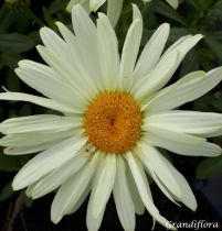 Leucanthemum*  \'banana cream yellow\'