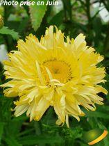 Leucanthemum* \'Goldfinch\'