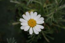 Leucanthemum * hosmariense Flirt