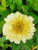 Leucanthemum \'Lemon Puff\'