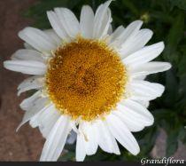 Leucanthemum* superbum \'Real Glory\'