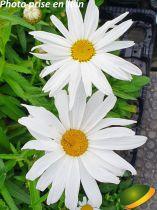 Leucanthemum* x superbum \'Silver Princess\'