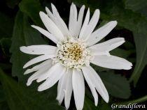 Leucanthemum* x superbum \'Wirral Suprême\'