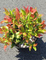 Leucothoe* fontanesiana \'Red leaf\'