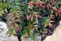 Leucothoe* keiskei \'Royal Ruby\'