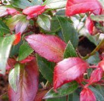 Leucothoe fontanesiana \'Red leaf\'