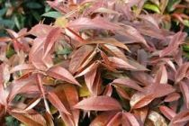 Leucothoe keiskei \'Royal ruby\'