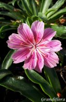 Lewisia cotyledon \'Little Plum\'