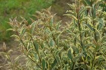 Ligustrum japonicum Arlequin \'Briseize\'