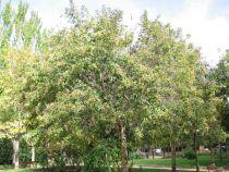 Ligustrum japonicum Colombine \'Briquinze\'