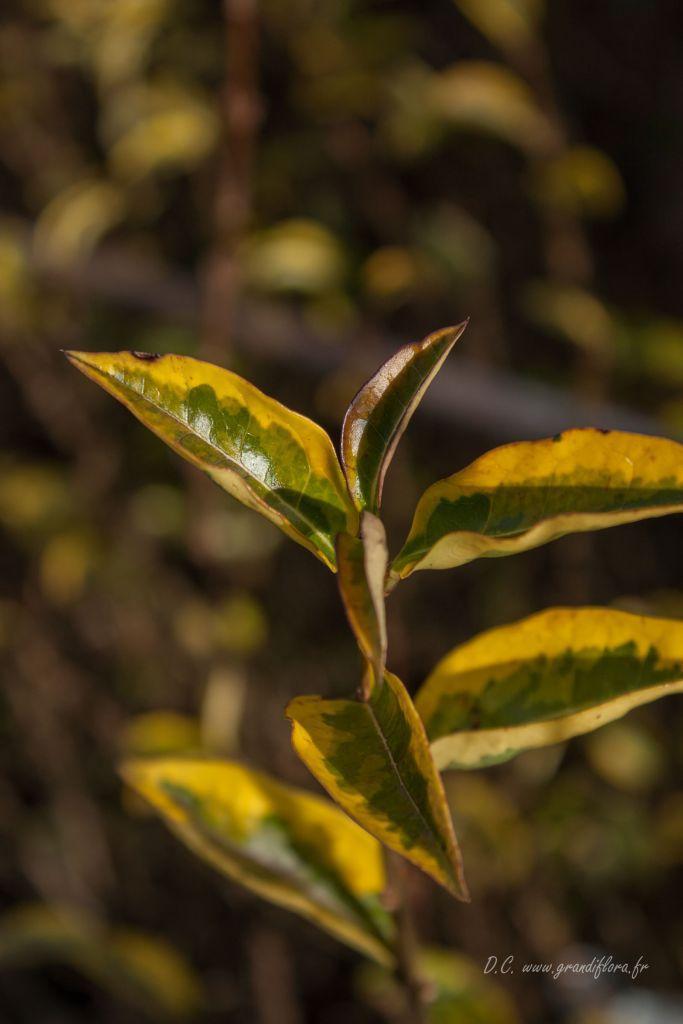 Ligustrum ovalifolium \'Aureum\'