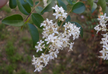 Ligustrum sinensis \'Eugenie Clive\'