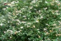 Ligustrum sinensis