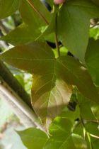 IMG_6897, arbre au feuillage caduc au jeune feuille pourpre, verte foncé en été puis orange pourpre en automne. Fleurs insignifiante au printemps.