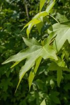Liquidambar styraciflua \'Slender Silhouette\' ou copalme, arbre au feuillage vert caduc prenant de très belle couleur d\'automne et à port plutôt colonnaire