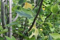 Liriodendron tulipifera \'Aureo Marginata\'