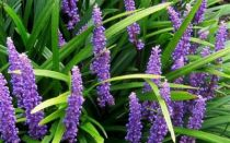 Liriope muscari \'Big Blue\'