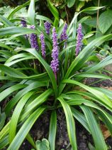 Liriope muscari \'Gold Banded\'