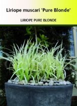 Liriope muscari \'Pure Blonde\'