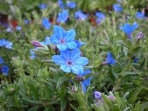 Lithodora diffusum \'Heavenly blue\'