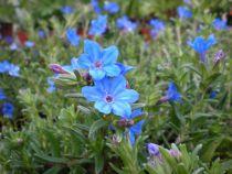 Lithodora diffusum \'Heavenly blue\'
