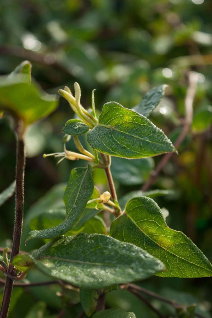 Lonicera* japonica \'Halliana\'