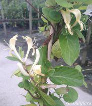 Lonicera acuminata