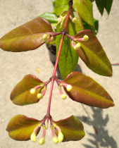 Lonicera henryi Copper beauty