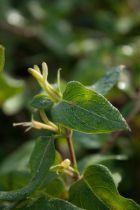 Lonicera japonica \'Halliana\'