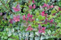Lonicera nitida \'Red Tips\'