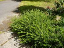 lonicera maigrum, arbuste persistant au feuillage vert clair et au port rampant à semi-rampant pour les talus, bordures, rocailles.