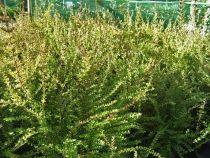 Lonicera nitida, arbuste persistant au petit feuillage vert foncé.