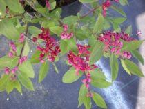 lonicera tatarica arnold red web petit