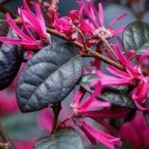 Loropetalum chinense \'Black pearl\'