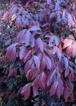 Loropetalum chinense \'Pipa\'s Red\'