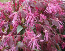 Loropetalum chinense \'Pipa\'s Red\'