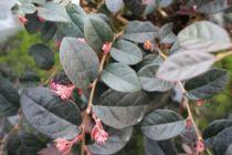Loropetalum chinense \'Red in Black\'