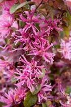 Loropetalum chinense \'Sizzlink Pink\'