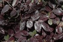 Loropetalum chinense Ever red® \'Chang Nian Hong\'