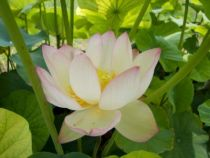 Lotus - Nelumbo nucifera \'Chawan Basu\'