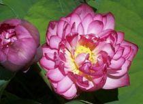 Lotus - Nelumbo nucifera \'Momo Botan\'