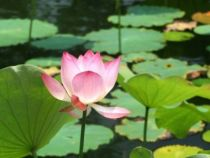 Lotus - Nelumbo nucifera \'Rosea\'
